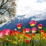 wild.flower.field.of.switzerland.spring.outdoor.tourism.extreme.adventure.3